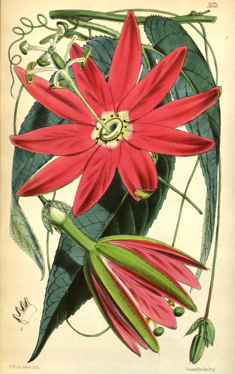 Red Banana Passion Fruit Flower illustration