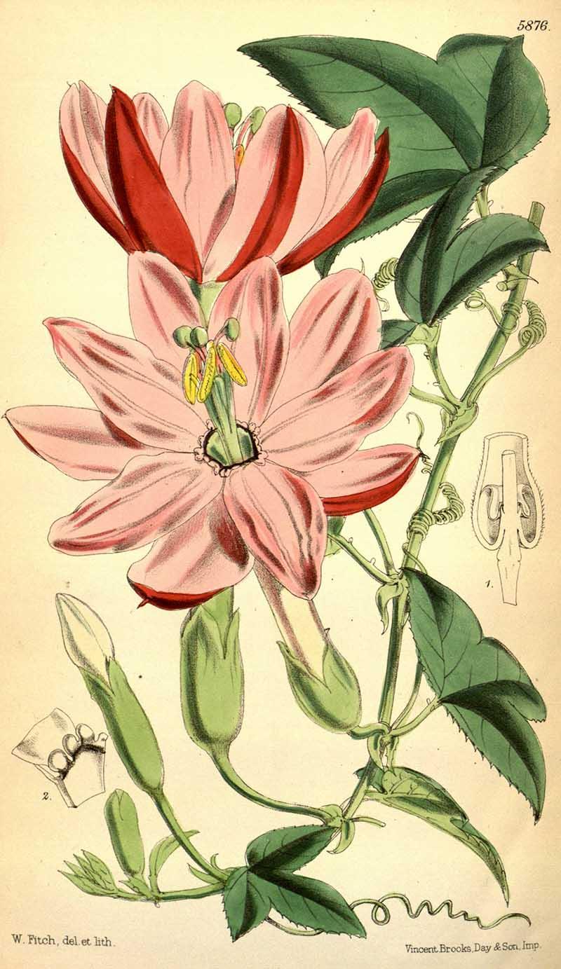 Passiflora_mixta