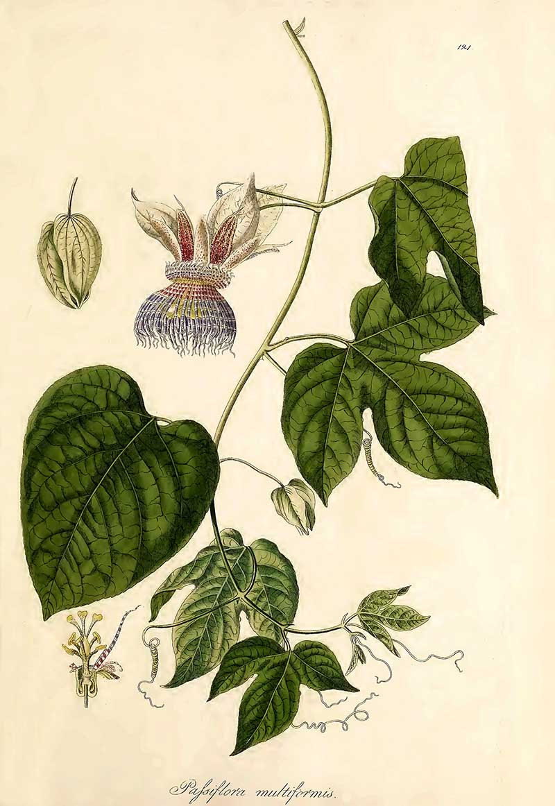 Passion flower drawing