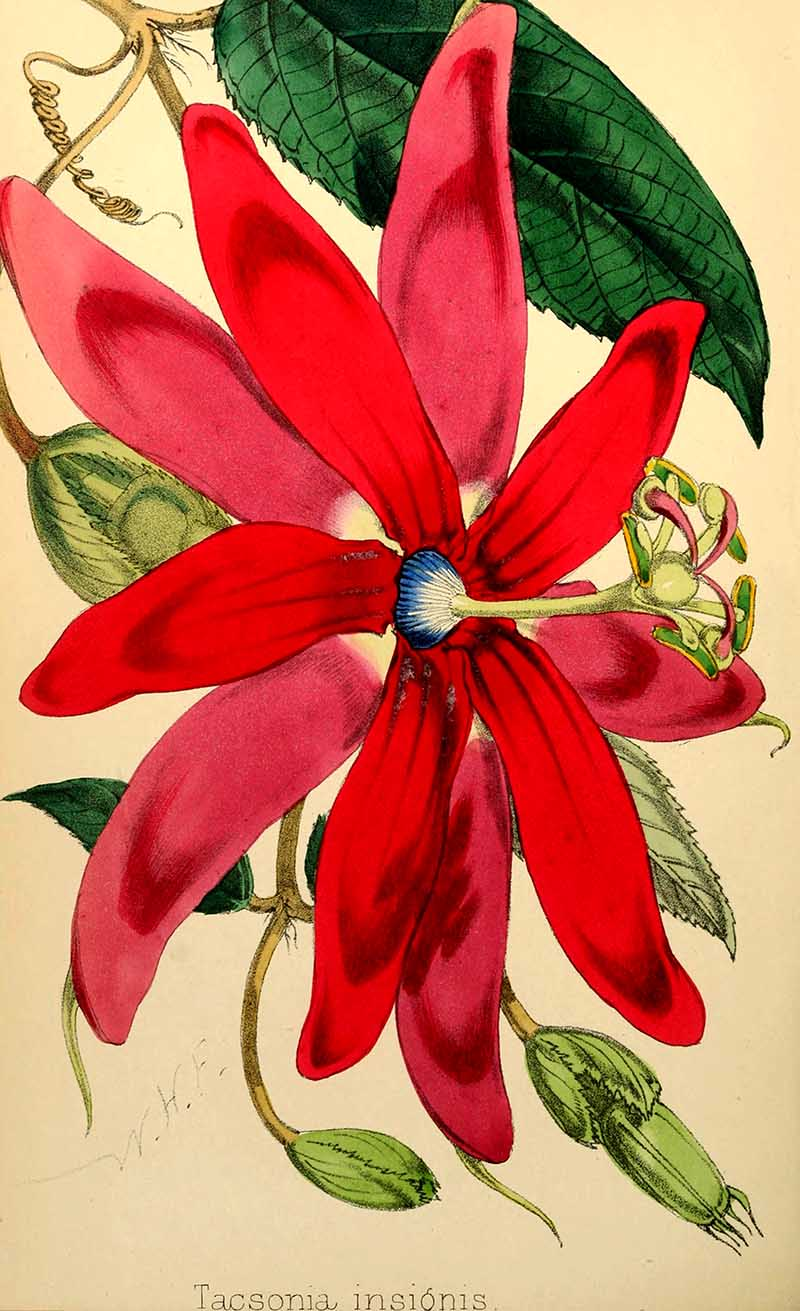Pink Passion flower
