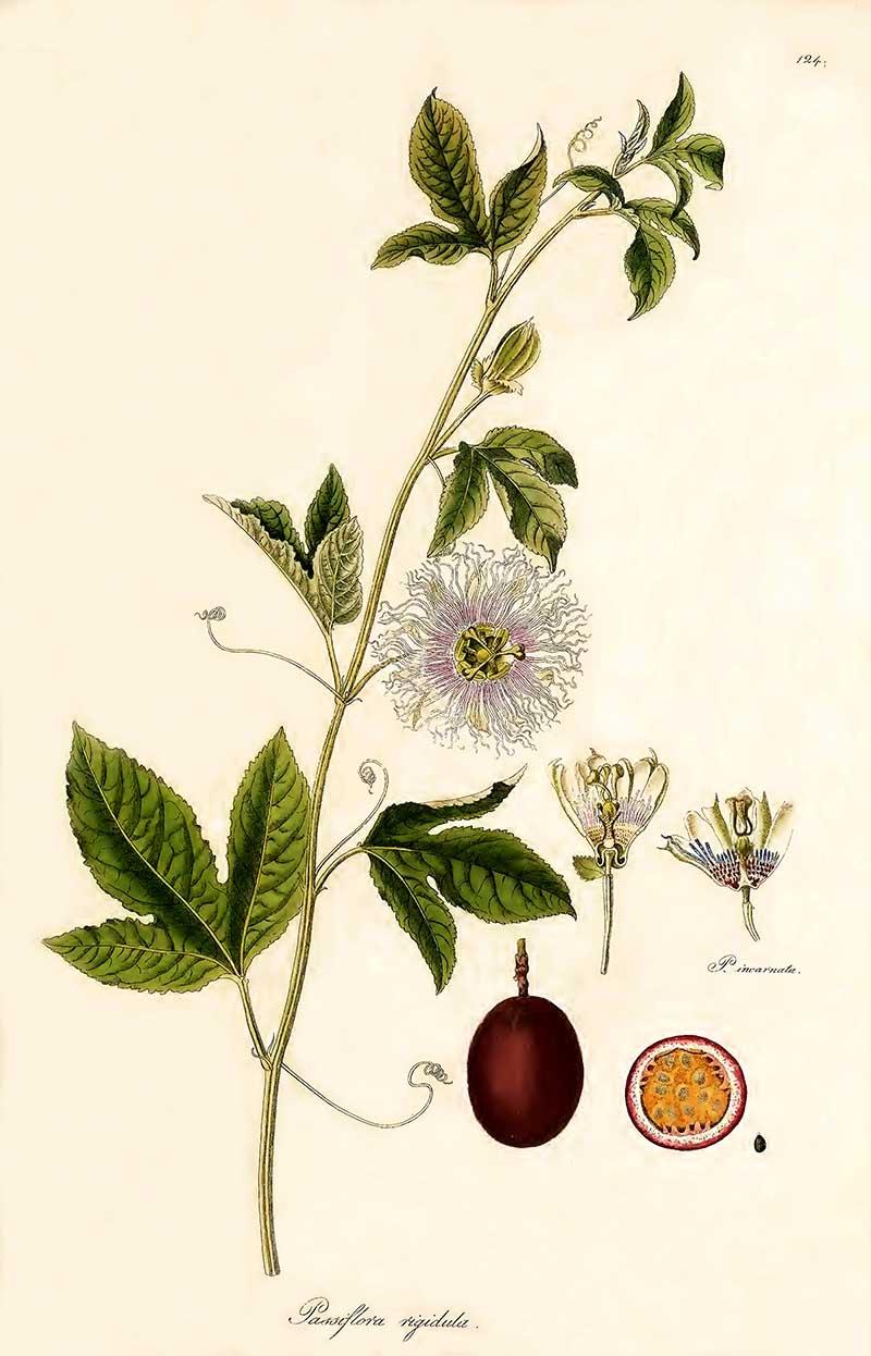 Maypop purple passion flower