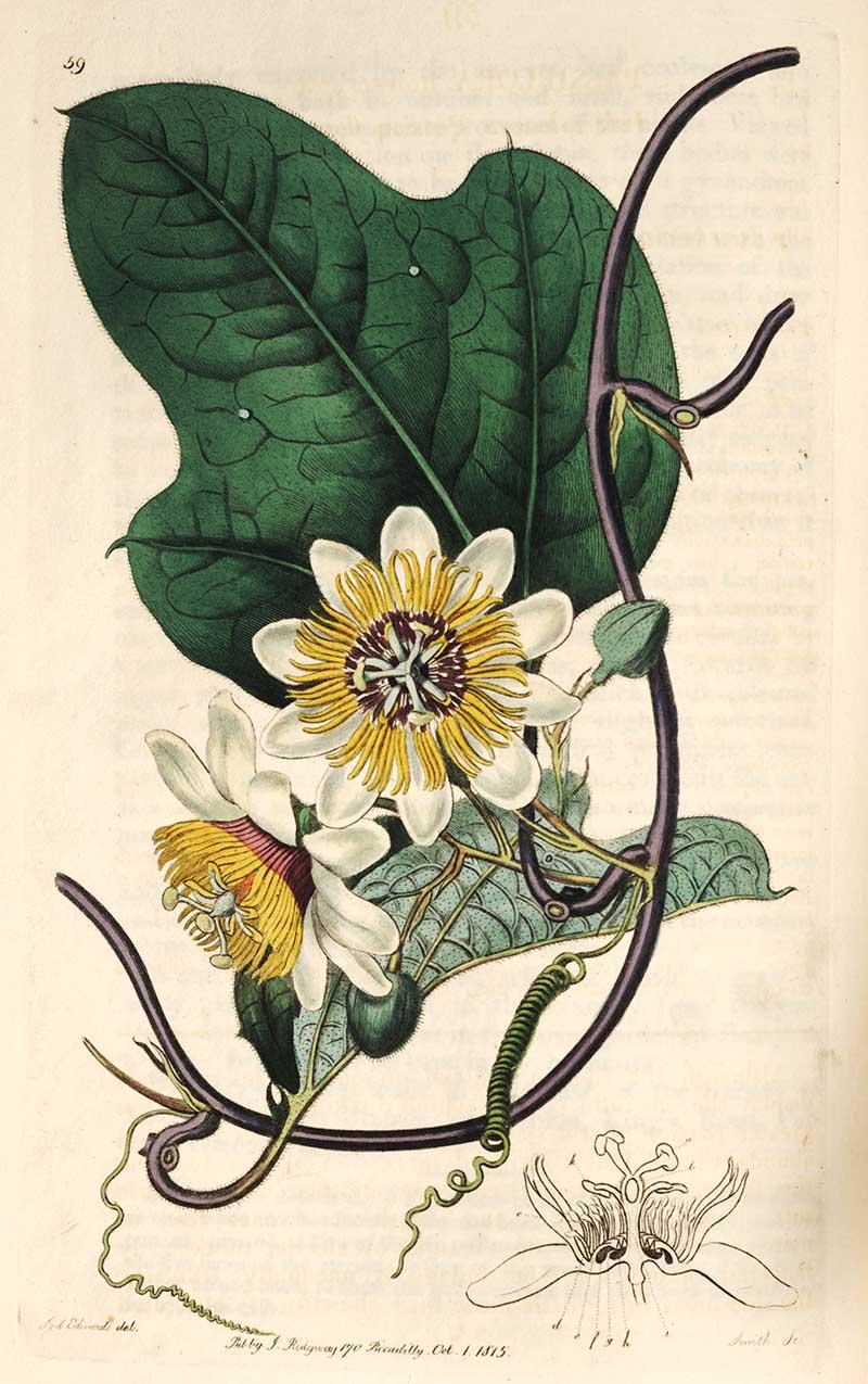 Silky Passion Flower Botanical Illustration