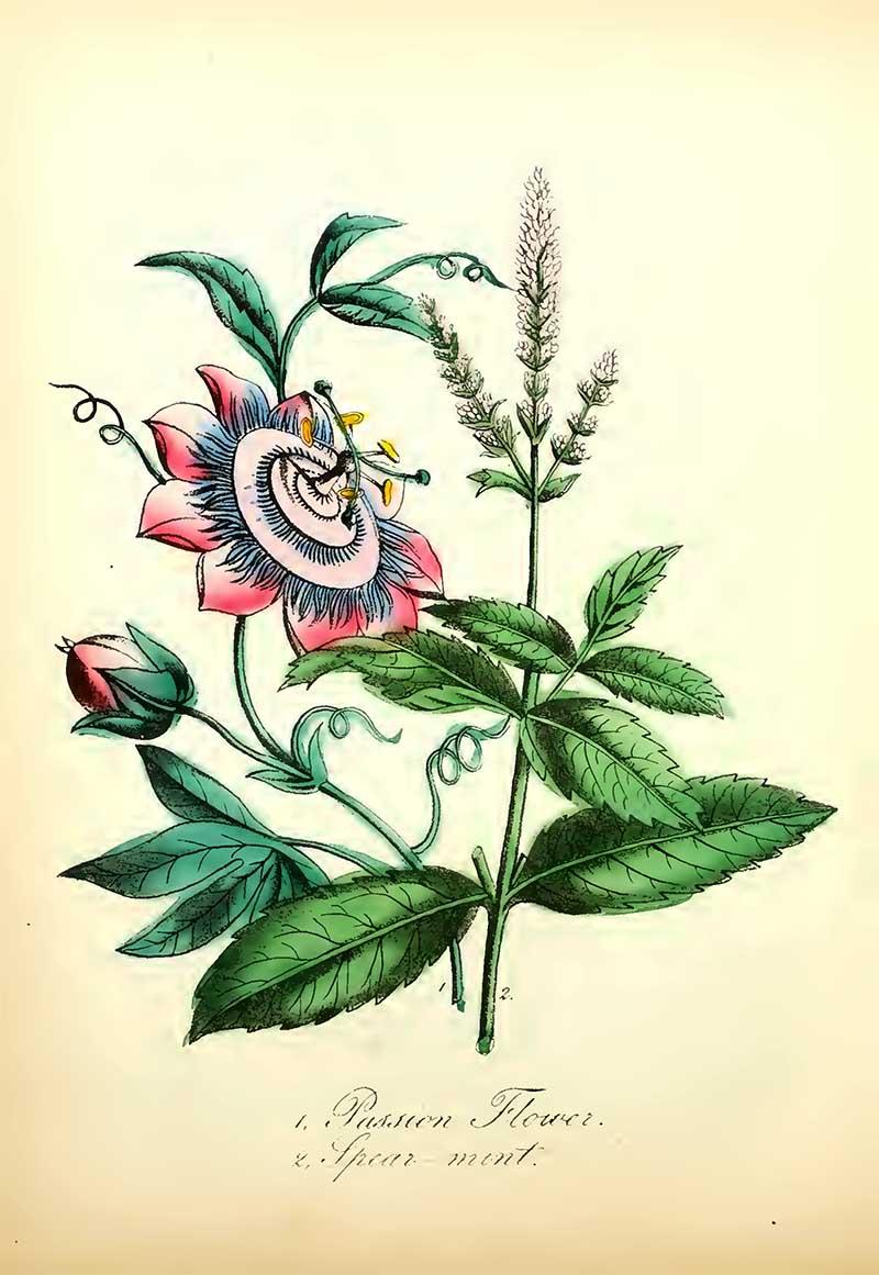 Blue Passion Flower
