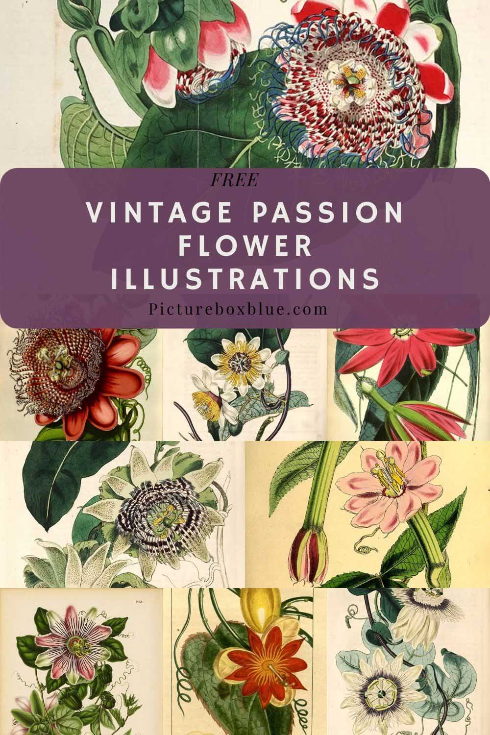 free-vintage-passion-flower-drawings