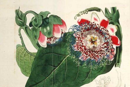 vintage-passion-flower-drawings-