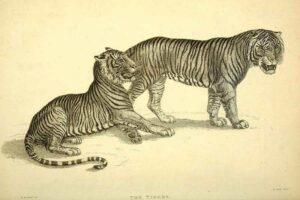 vintage-tiger-drawings