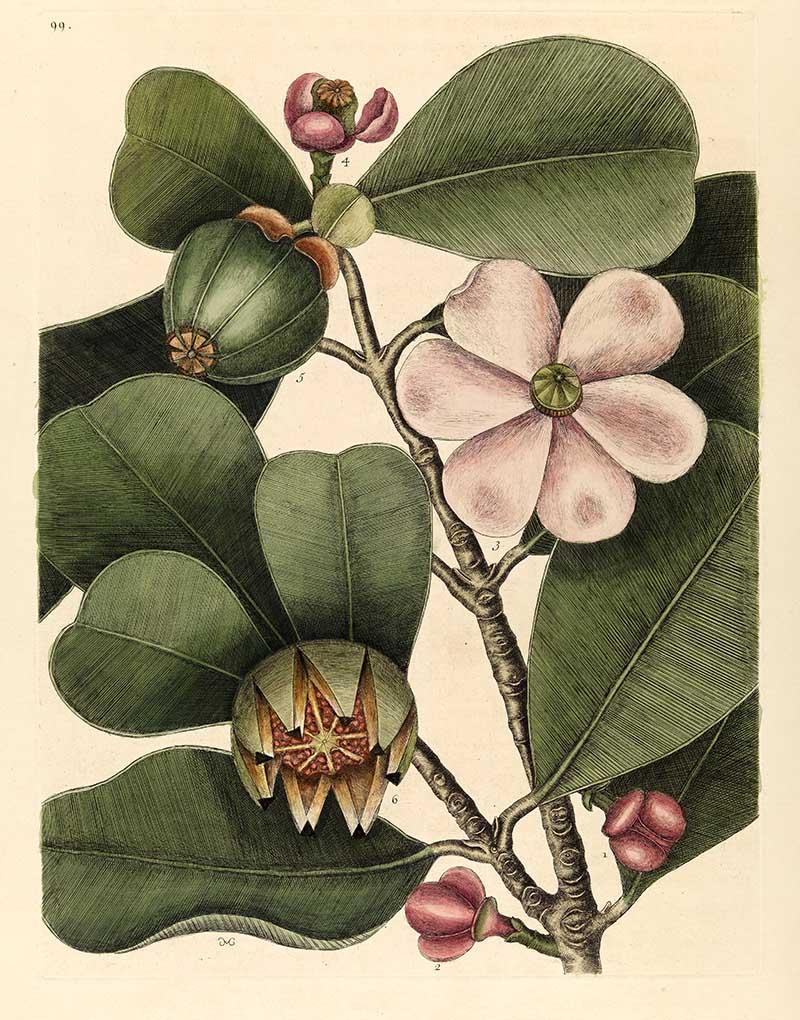 Balsam tree Mark Catesby prints