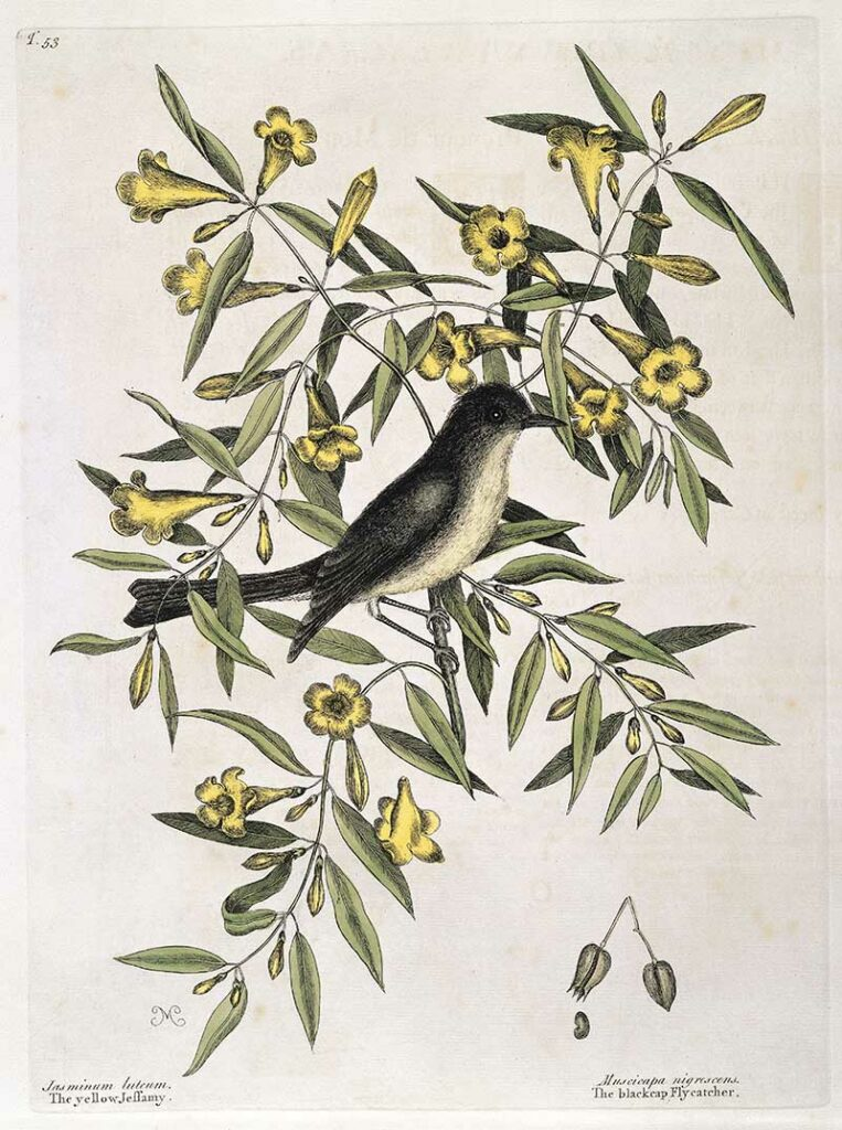 Blackcap fly-catcher perched on Yellow jessamy,