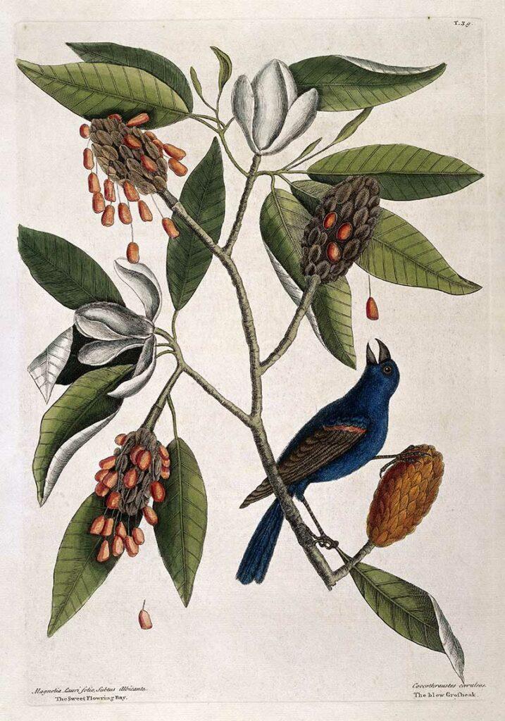 Blue cross-beak and Sweet flowering bay,