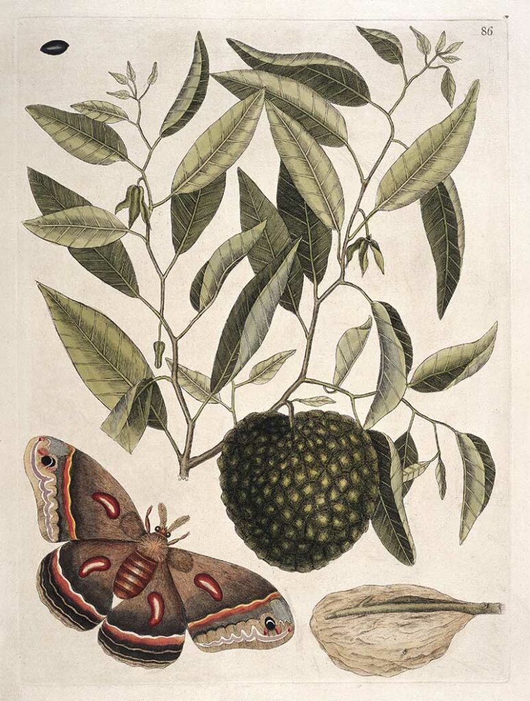 Mark Catesby Print of Carolina Moth