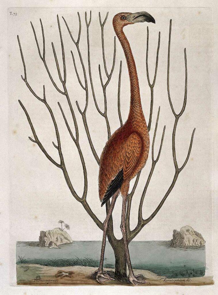 Flamingo with Keratophyton plant, Bahamas, 1731