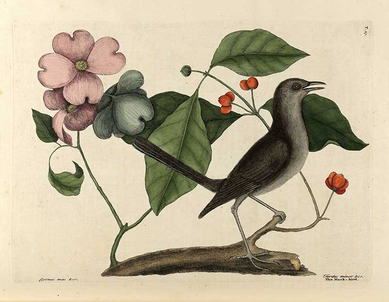 Flowering dogwood and mocking bird.