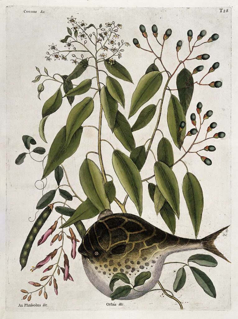 Globe fish Mark Catesby Prints
