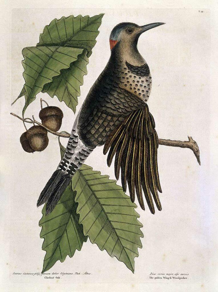 Gold-winged wood-pecker on Chesnut oak,