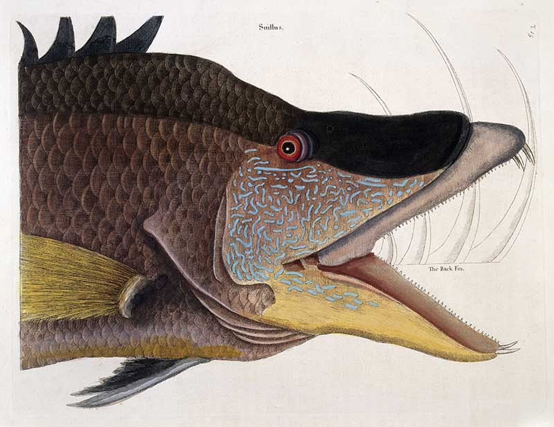 Head and jaws of Great hog-fish,