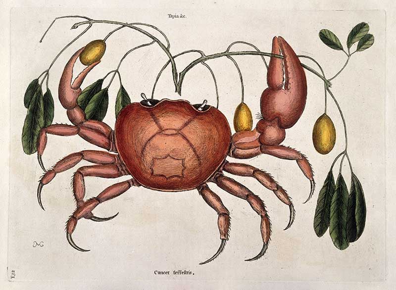 Land crab with Tapia trifolia plant,