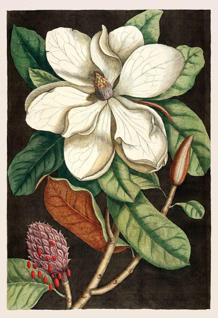 Laurel Tree (Magnolia altissima) from The natural history of Carolina, Florida, and the Bahama Islands