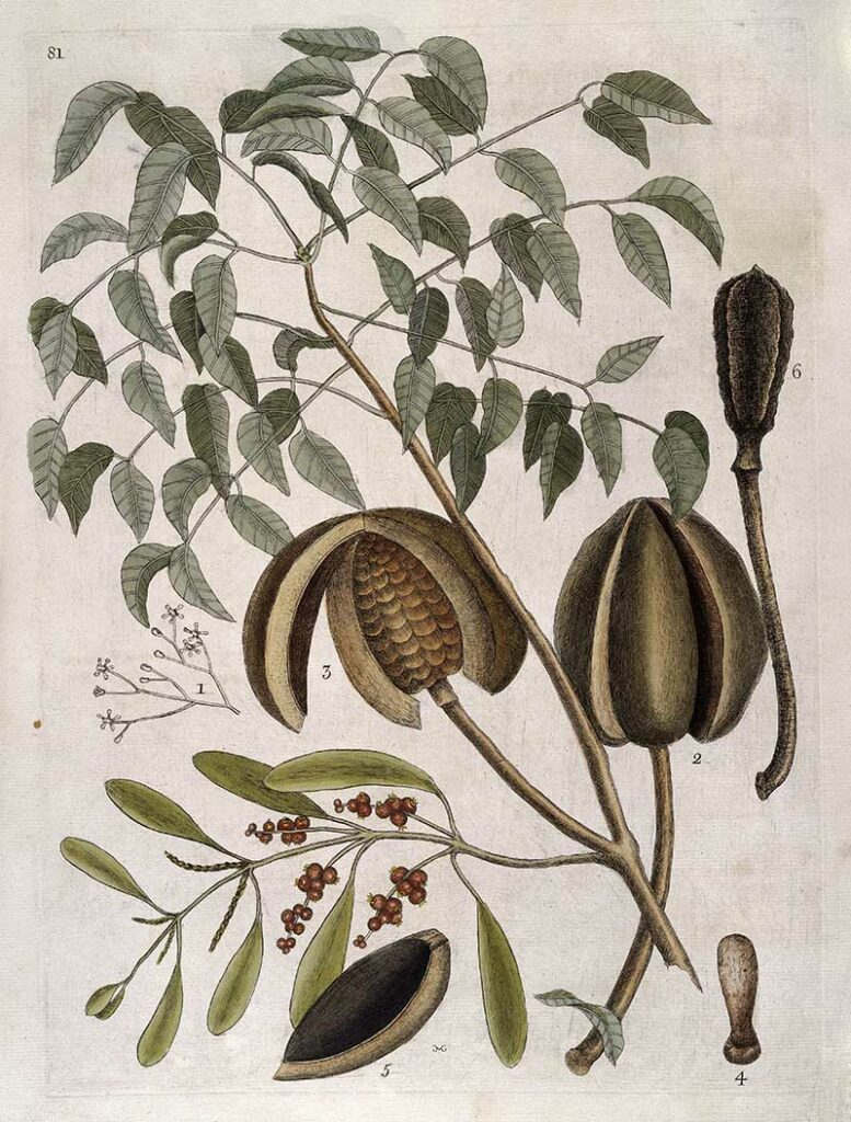 Leaves, flowers, fruit and seed pods of Mahogany tree, 1731
