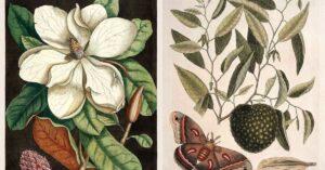 Mark-catesby-prints