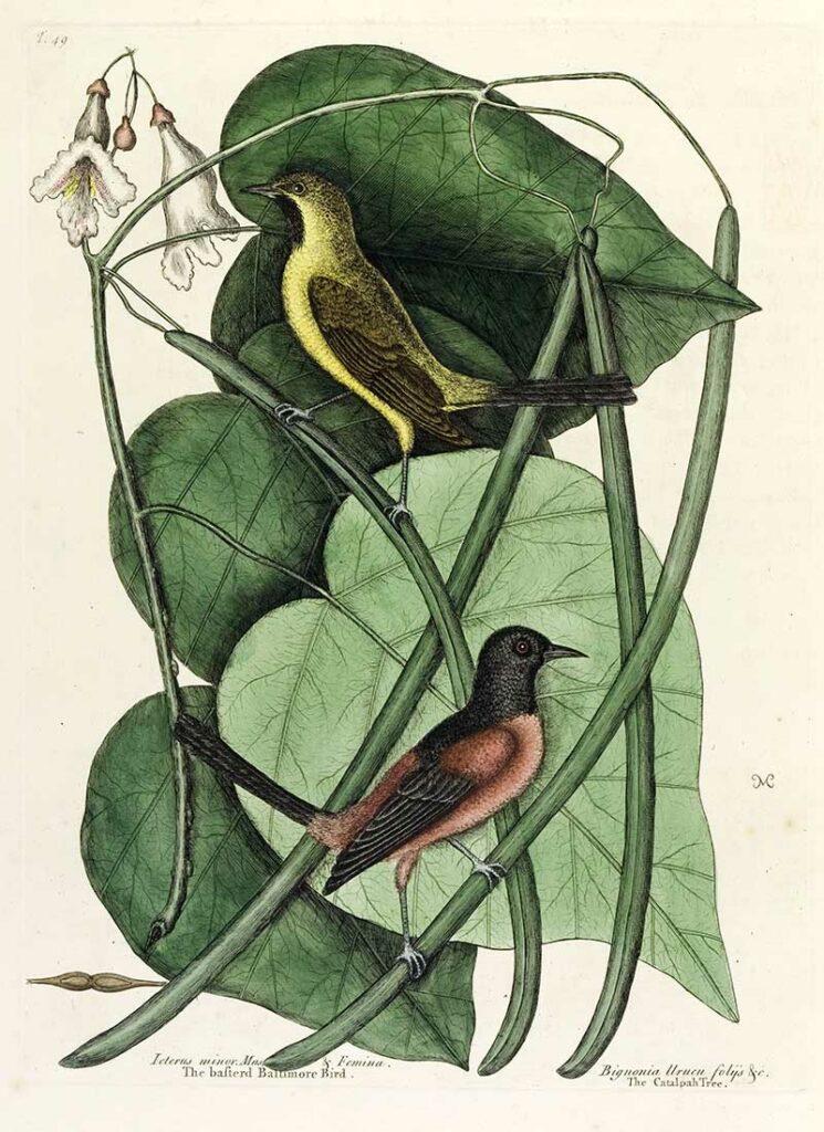 Basterd Baltimore Bird Mark Catesby