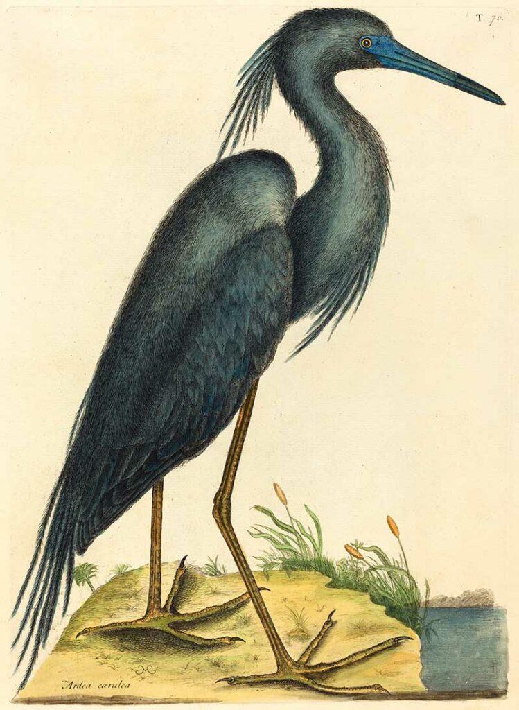 Mark_Catesby,_The_Blue_Heron_(Ardea_coerulea),