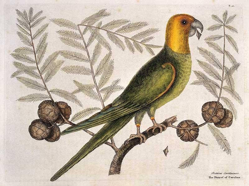 Parrot of Carolina on Cypress tree, 1731