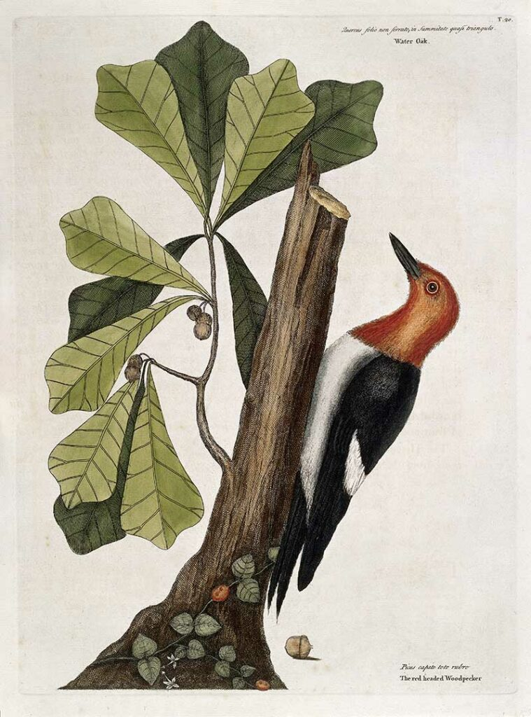 Red-headed wood-pecker perched on Water oak