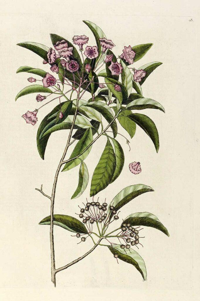 Sheep Laurel Kalmia angustifolia from The natural history of Carolina...