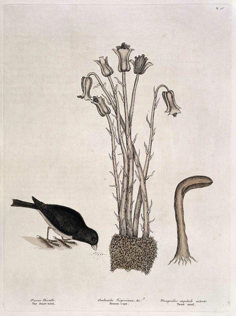 Snow bird, Broom-rape, and toad stool,