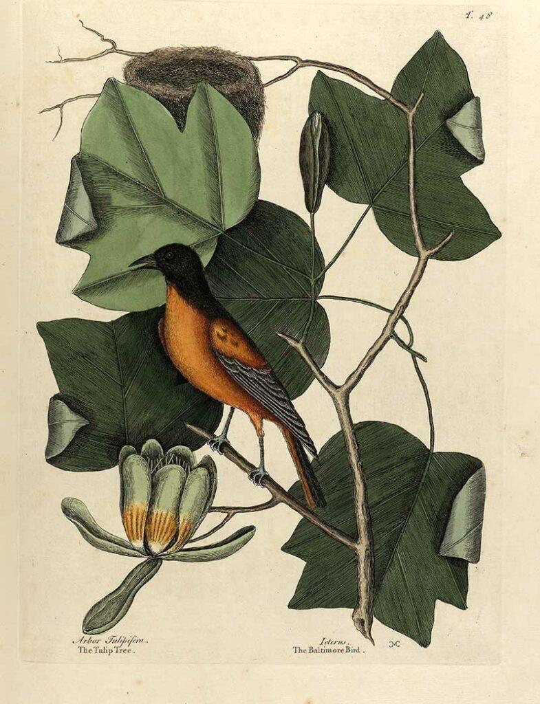 Tulip Tree The natural history of Carolina, Florida..