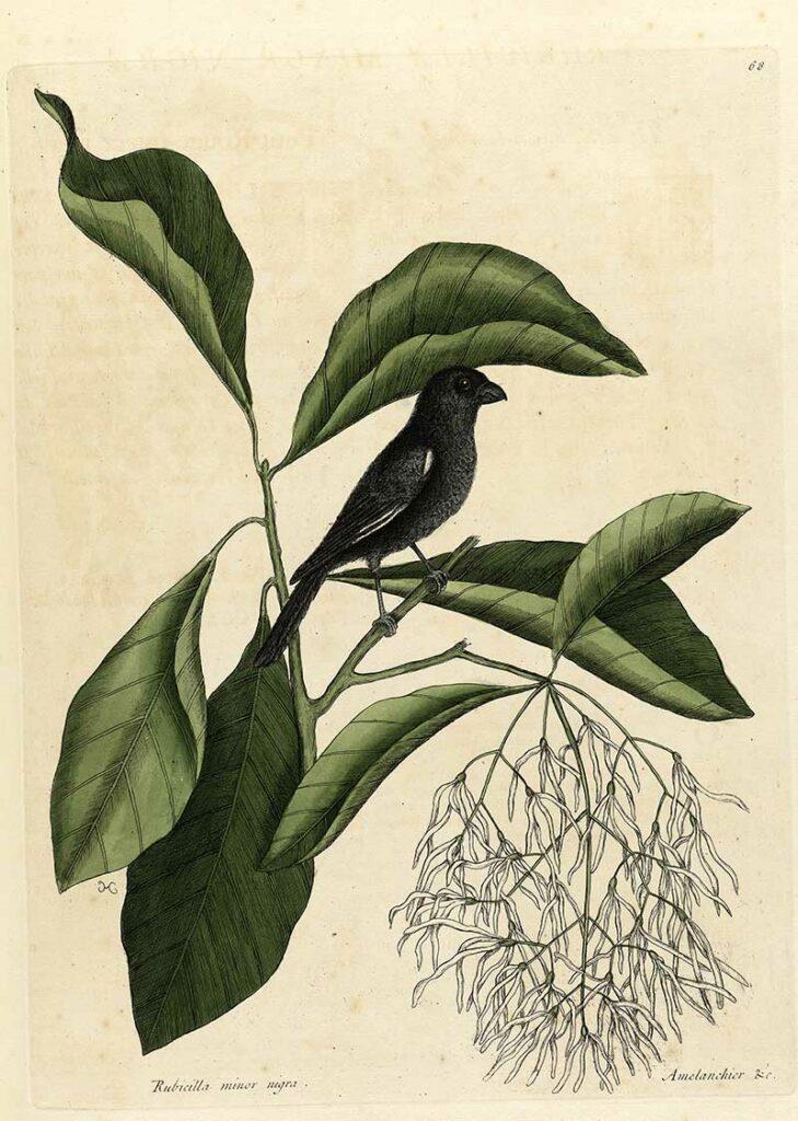 Little black Bullfinch and fringe tree