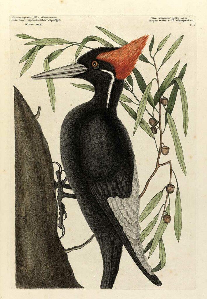 Large Billed woodpecker Mark Catesby illustration