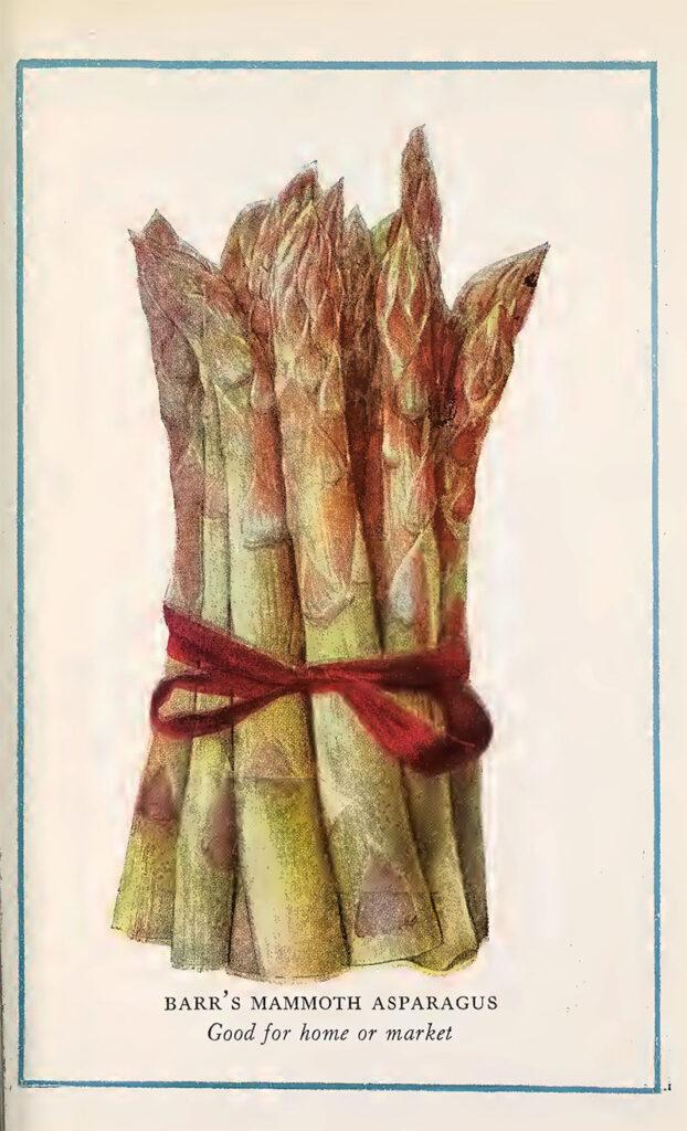 Asparagus vintage vegetable print