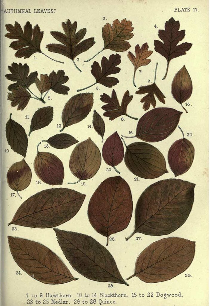 drawings of fall leaves