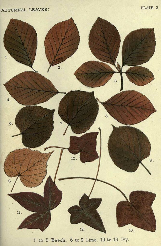 Beech Lime Ivy Charts