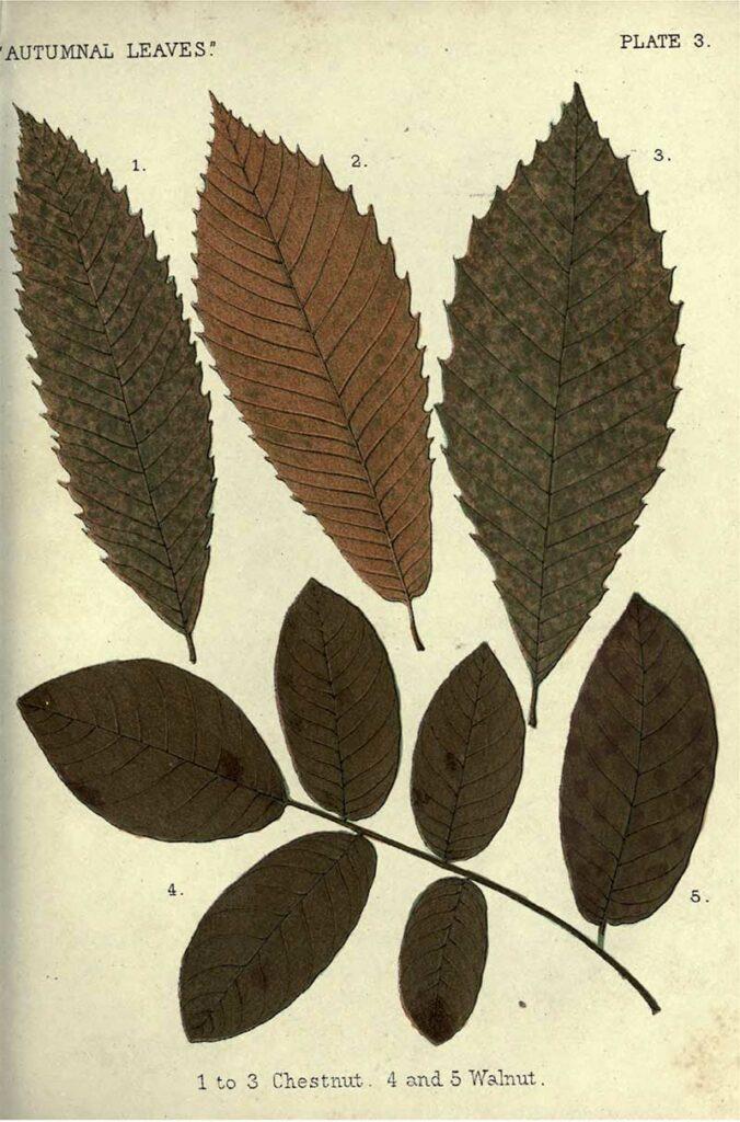 Chestnut walnut fall leaves illustrations