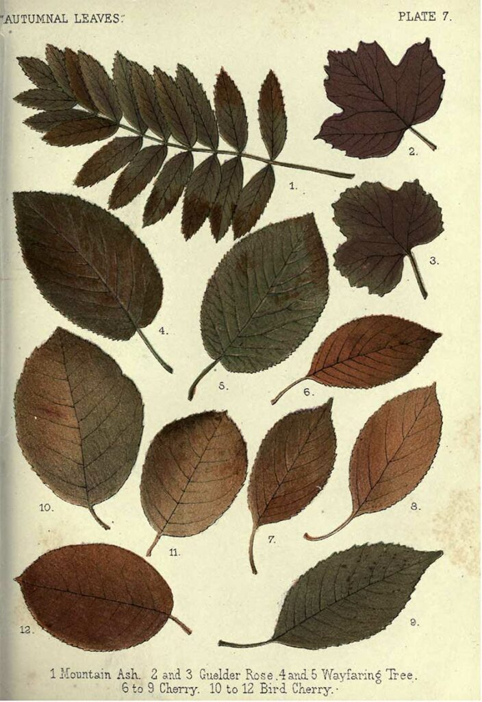 Autumnal leaves - Plate 7 Mountain Ash - Cherry tree