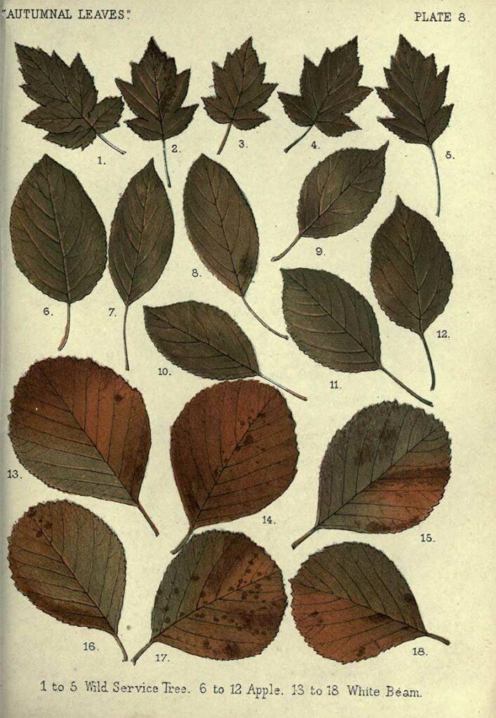vintage Fall leaves drawings