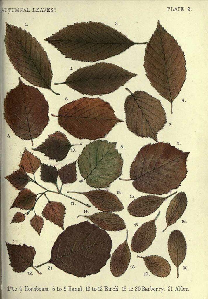 Hornbeam to Alder leaf drawings