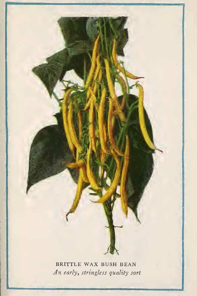 Bush bean illustration