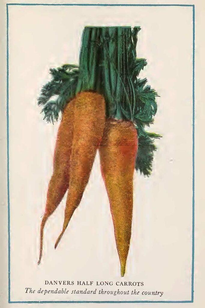 carrots vintage vegetable prints