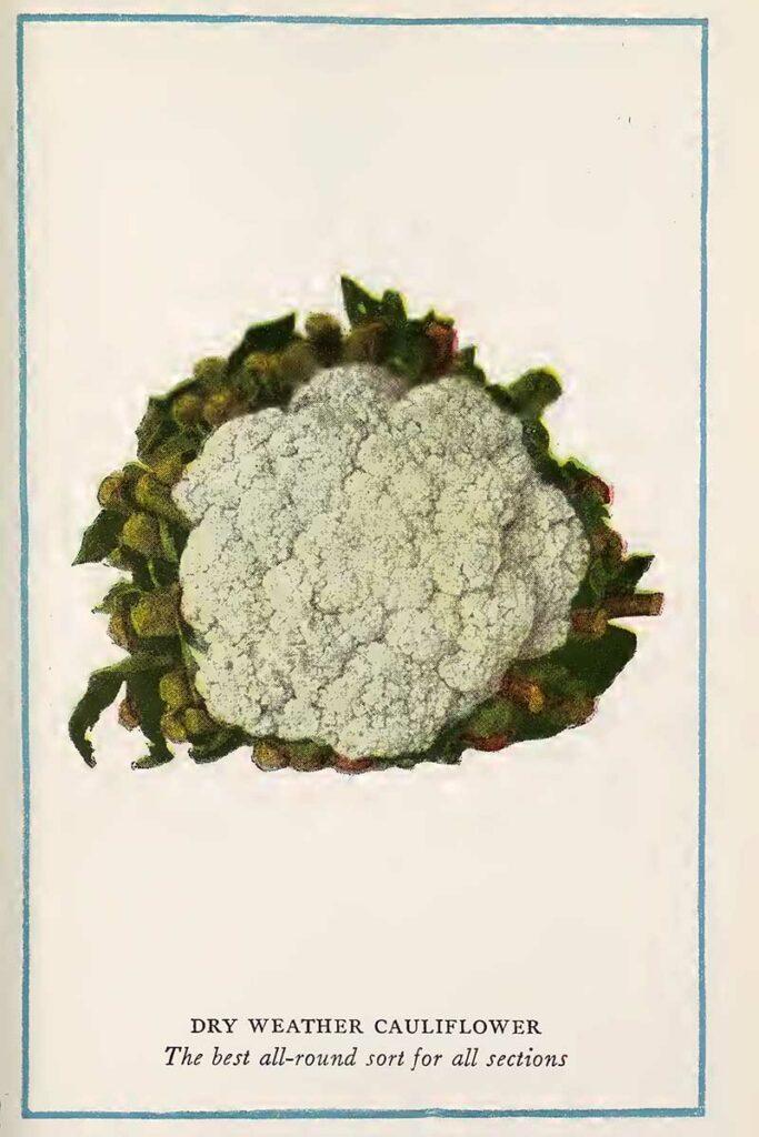 cauliflower vintage vegetable prints
