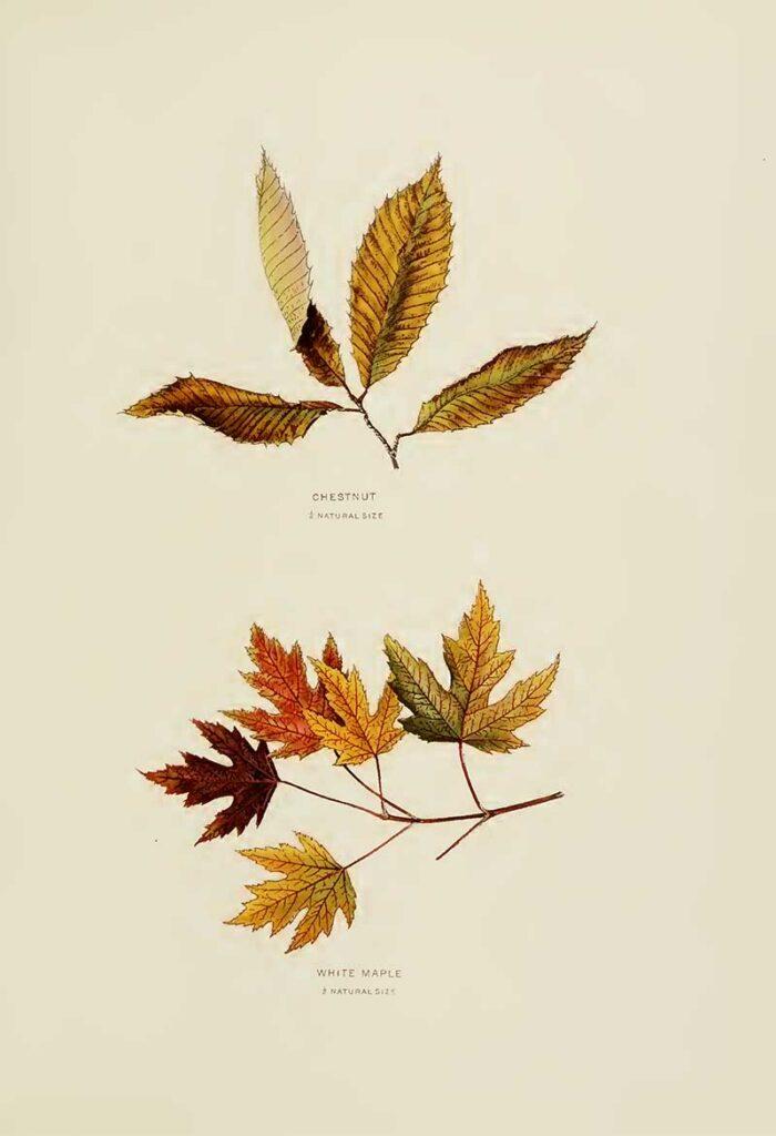 Cchestnut and White Maple