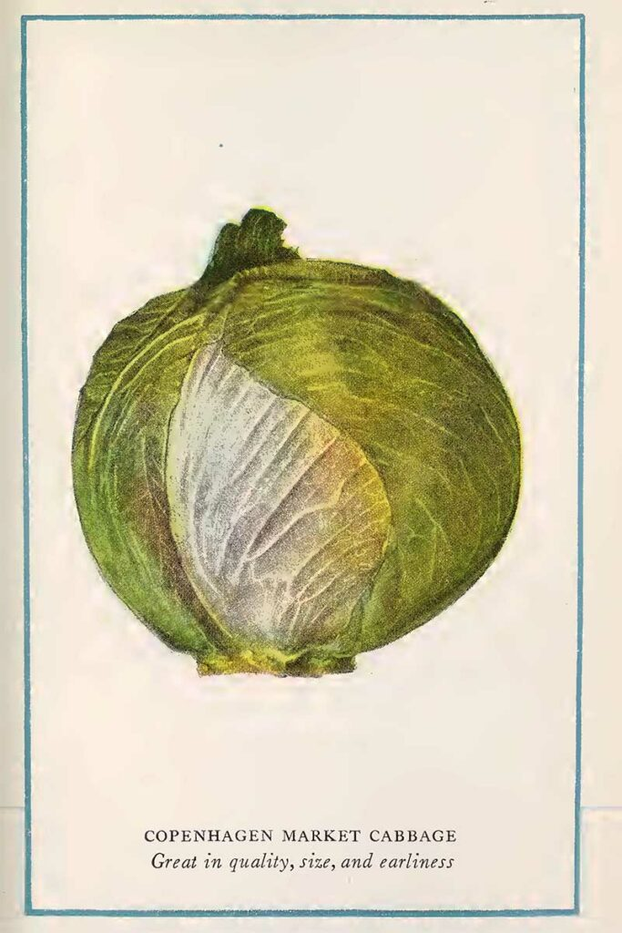 cabbage vegetable print