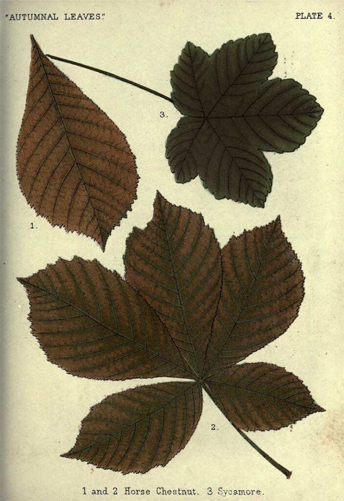 Fall-leaves 4-Horse-Chesnut-Sycamore