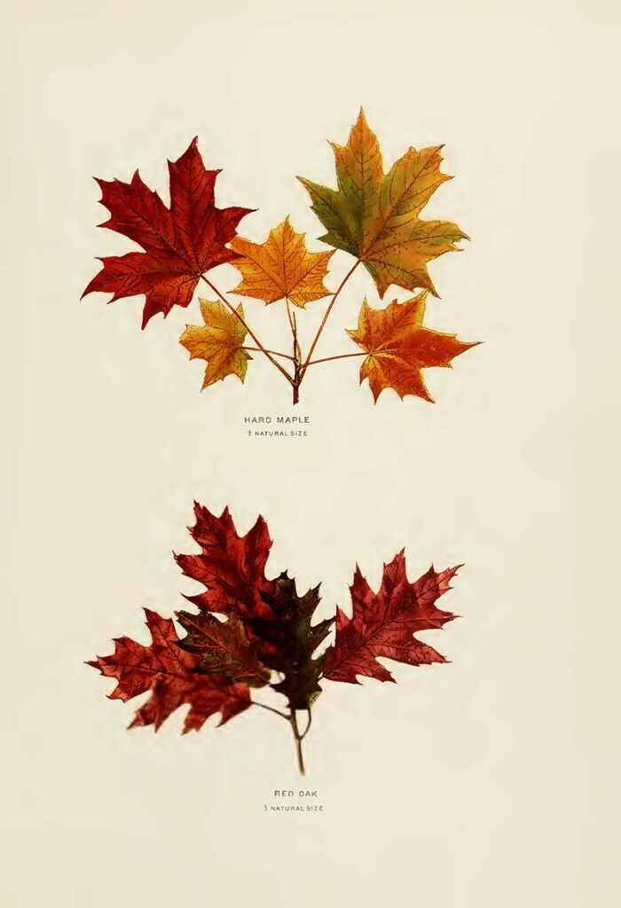 Hard Maple & Red Oak leaf drawings