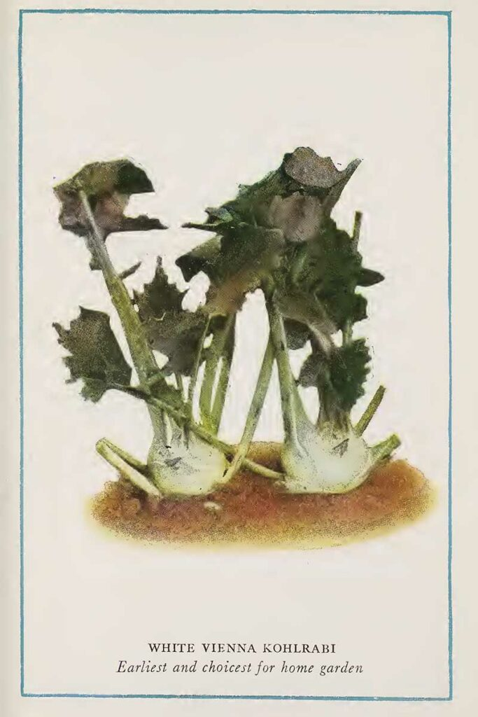 Kohlrabi vegetable