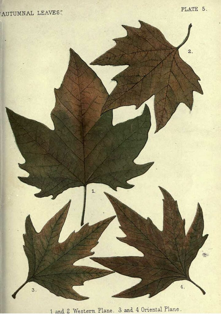 Western and oriental plane leaf illustration