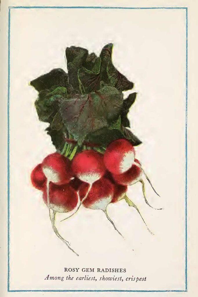 radishes illustration