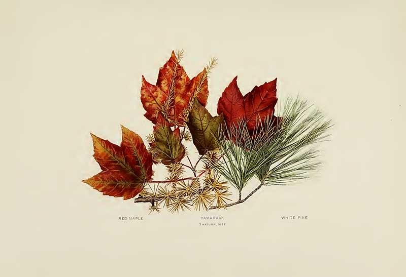 Red Maple-Tamarack-White-Pine leaves